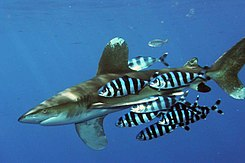 245px-Carcharhinus_longimanus_1